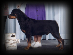 Ditto taking BOB at the Kent Kennel Klub in Canada