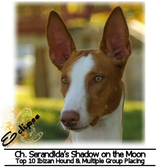 "Ch. Serandidas Shadow on the Moon, top 10 Ibizan Hound & Multiple Group Placing - ""Eclipse"""