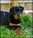 """Cash"" Gates x Breja male puppy at 3 months old"