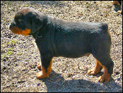"""Cash"" Gates x Breja 6 week male puppy"
