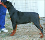"""Cash"" at 5 months old at the Jaxon K.C. fun match taking BOB/Group 3 Puppy on 08-02-2008."