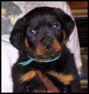 Tory x Shaka puppy