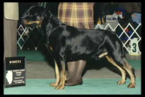 Quency taking another Winners Dog at Chain O' Lakes KC
